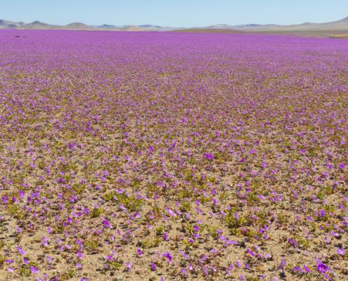 """De vez em quando a chuva vem para o deserto de Atacama, quando isso acontece a milhares de Pata de Guanaco flores crescem ao longo do deserto de sementes que são de centenas de anos atrás, o incrível fenômeno do """"Deserto Florido"""""""